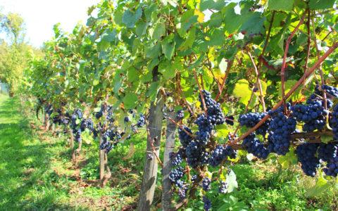 """Les vignes gérées par l'Association """"Les vignerons de Servion"""""""